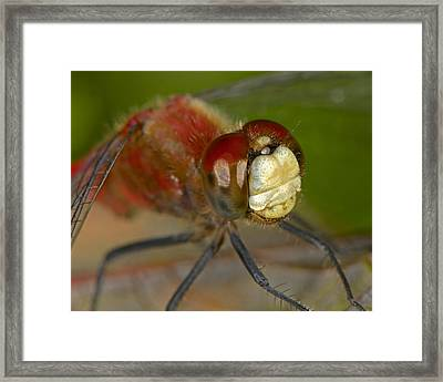 White-faced Meadowhawk Framed Print by Tony Beck