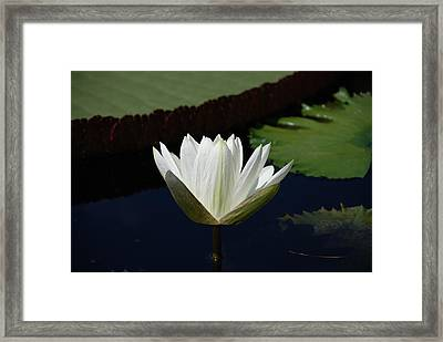 White Flower Growing Out Of Lily Pond Framed Print by Jennifer Ancker