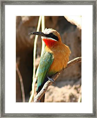 White Fronted Bee Eater Framed Print by Amanda Stadther