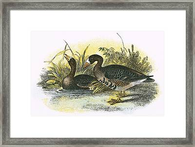 White Fronted Goose Framed Print by English School