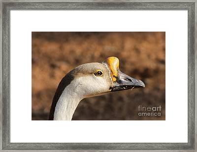 White Fronted Goose-portrait Framed Print by Douglas Barnard