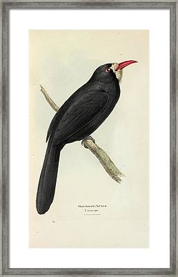 White-fronted Nunbird Framed Print by Natural History Museum, London