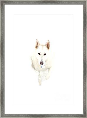 White German Shepherd In Snow Framed Print by Thomas R Fletcher