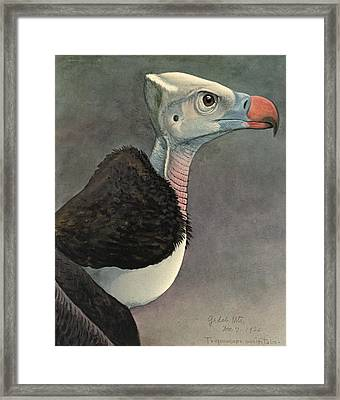 White Headed Vulture Framed Print by Louis Agassiz Fuertes