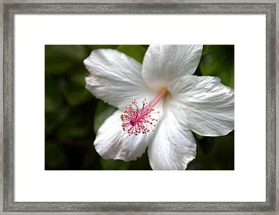 White Hibiscus Framed Print by Brian Harig