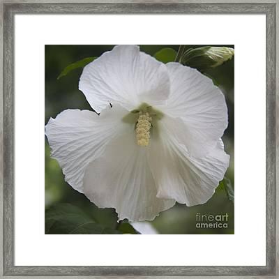 White Hibiscus Squared Framed Print by Teresa Mucha