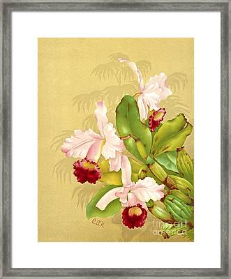 White House Orchid 1892 Framed Print by Padre Art