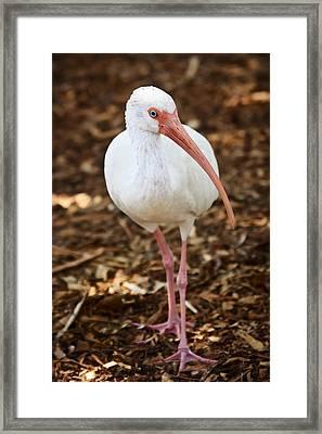 White Ibis Framed Print by Adam Romanowicz