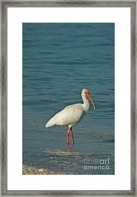White Ibis Framed Print by Cindi Ressler