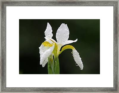 White Iris Framed Print by Juergen Roth