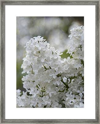 White Lilacs In Bloom Framed Print by Juli Scalzi