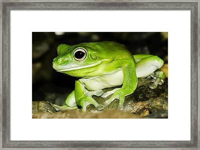 White-lipped Tree Frog Framed Print by Mr Bennett Kent