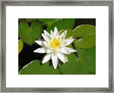 White Lotus Framed Print by Ellen Henneke