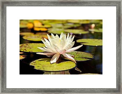 White Lotus Flower In Lily Pond Framed Print by Susan Schmitz