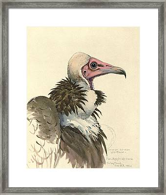 White Necked Vulture Framed Print by Louis Agassiz Fuertes