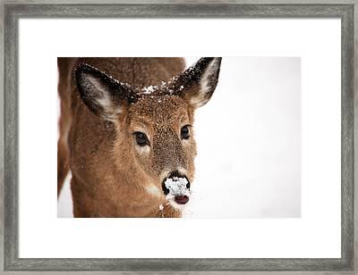 White On The Nose Framed Print by Karol Livote
