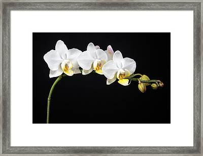 White Orchids Framed Print by Adam Romanowicz