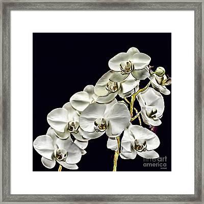 White Orchids Framed Print by Tom Prendergast