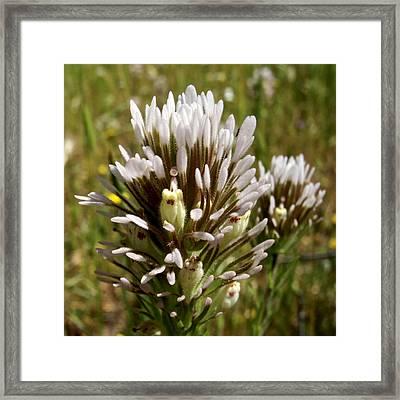 White Owl's Clover In Park Sierra-ca Framed Print by Ruth Hager