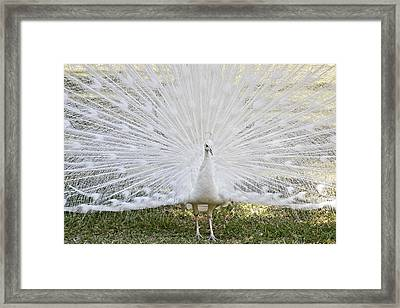White Peacock - Fountain Of Youth Framed Print by Christine Till