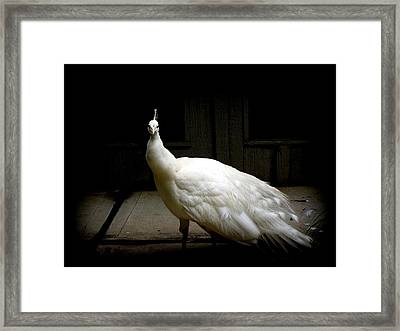 White Peacock Framed Print by Tilen Hrovatic