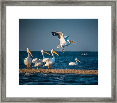 White Pelicans In Florida - 2 Framed Print by Gloria Matyszyk