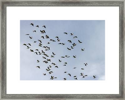 White Pelicans Framed Print by Jeff Donald