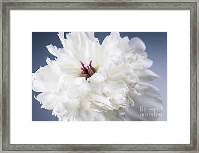 White Peony Flower  Framed Print by Elena Elisseeva