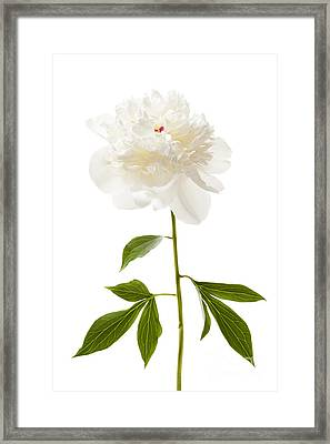 White Peony Flower On White Framed Print by Elena Elisseeva