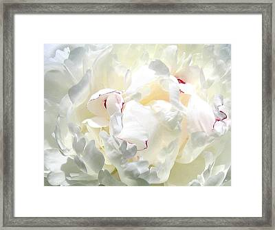 White Peony Framed Print by Will Borden