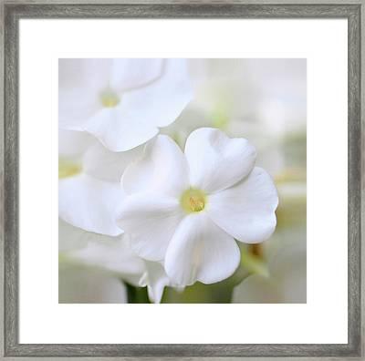 White Phlox Framed Print by Anna Miller