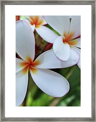 White Plumeria Framed Print by Kathy Yates