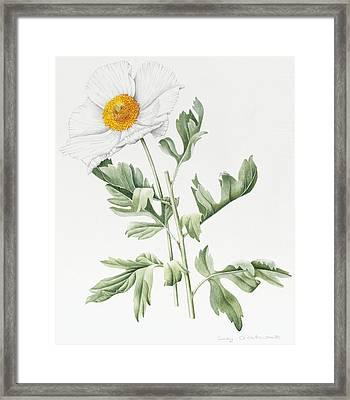 White Poppy Framed Print by Sally Crosthwaite