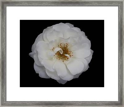 White Rose 2 Framed Print by Carol Welsh