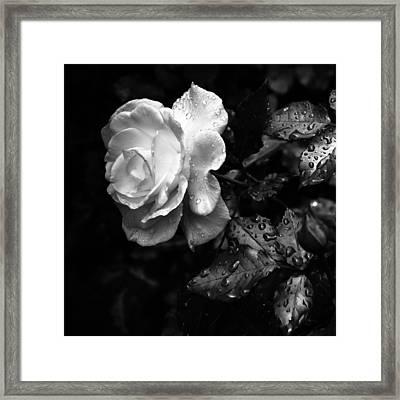 White Rose Full Bloom Framed Print by Darryl Dalton