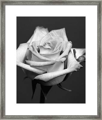 White Rose Framed Print by Marcio Faustino