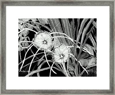 White Spider Lillies Pastel Framed Print by Antonia Citrino