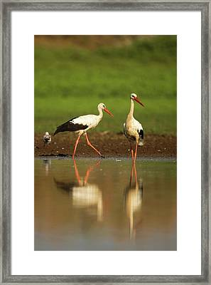 White Stork (ciconia Ciconia) Framed Print by Photostock-israel
