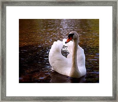 White Swan Framed Print by Rona Black