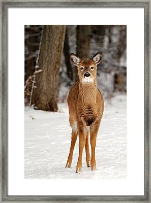 Whitetail In Snow Framed Print by Christina Rollo
