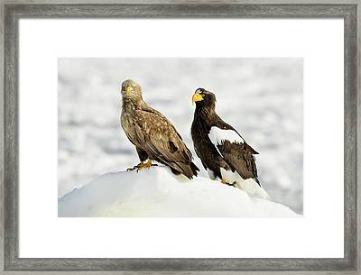 White-tailed And Steller's Sea Eagles Framed Print by Dr P. Marazzi