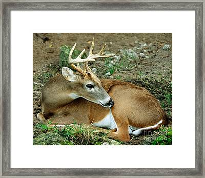 White-tailed Deer Odocoileus Virginianus Framed Print by Millard H. Sharp