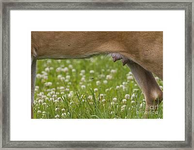 White-tailed Deer Udder Framed Print by Linda Freshwaters Arndt