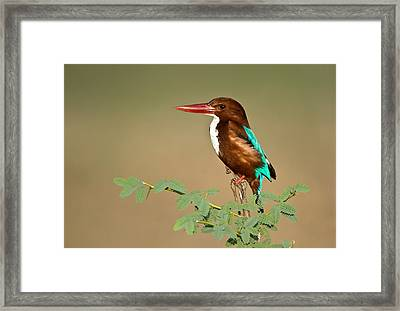 White-throated Kingfisher Halcyon Framed Print by Panoramic Images