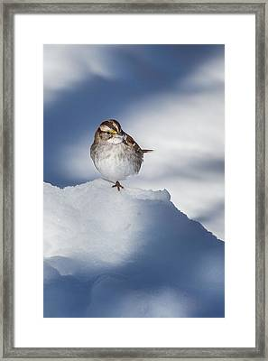 White Throated Sparrow Framed Print by Bill Wakeley
