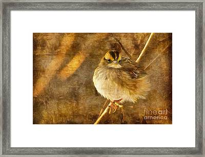 White Throated Sparrow Framed Print by Lois Bryan
