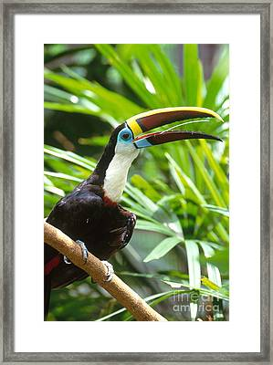 White-throated Toucan Framed Print by Art Wolfe