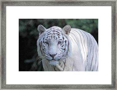 White Tiger Face Framed Print by Shoal Hollingsworth
