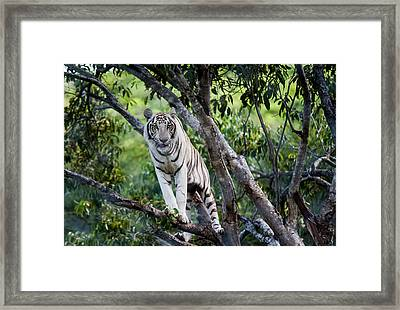 White Tiger On The Tree Framed Print by Jenny Rainbow