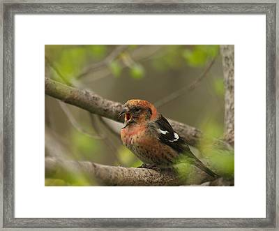 White-winged Crossbill Framed Print by James Peterson